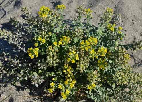 Flora de Areoso