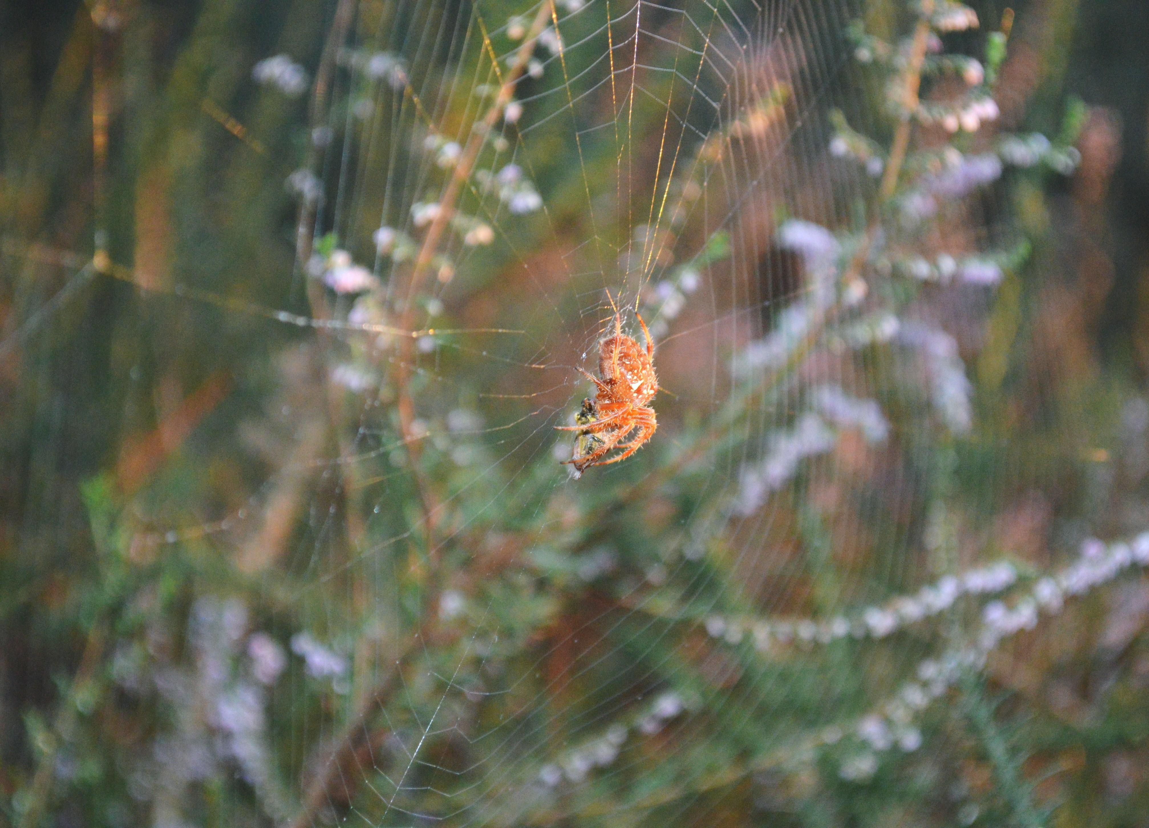 Araña de xardín (Araneus diadematus)