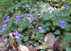 Viola brava