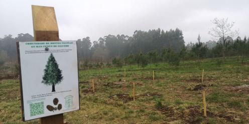 Outra plantación de Abeto de Douglas realizada por escolares de Pontevedra