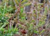 Insecto nunha planta de Erica ciliaris ou carrasco
