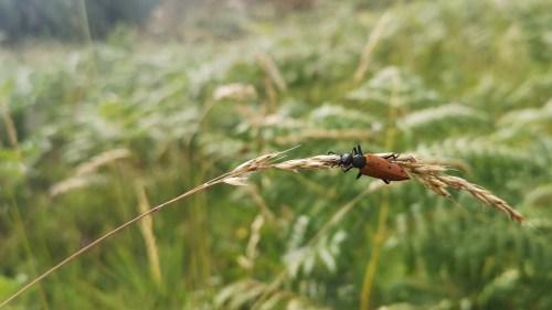 Meloidae Mylabris