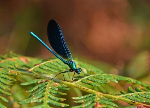 Calopterix Virgo, gaiteiro azul. Agosto 2019