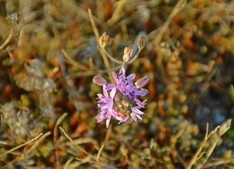 Scilla autumnalis