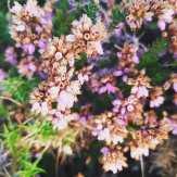 Carrasco en flor. Foto de Sandra Pesqueira.