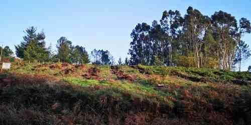 Reforestación trala corta a matarrasa