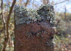 Restos de antigos viñedos no alfolí de Larache