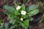 """""""Primula acaulis"""", primavera"""