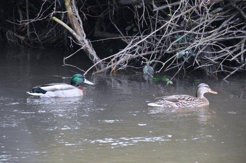 Parrulos no río Tomeza