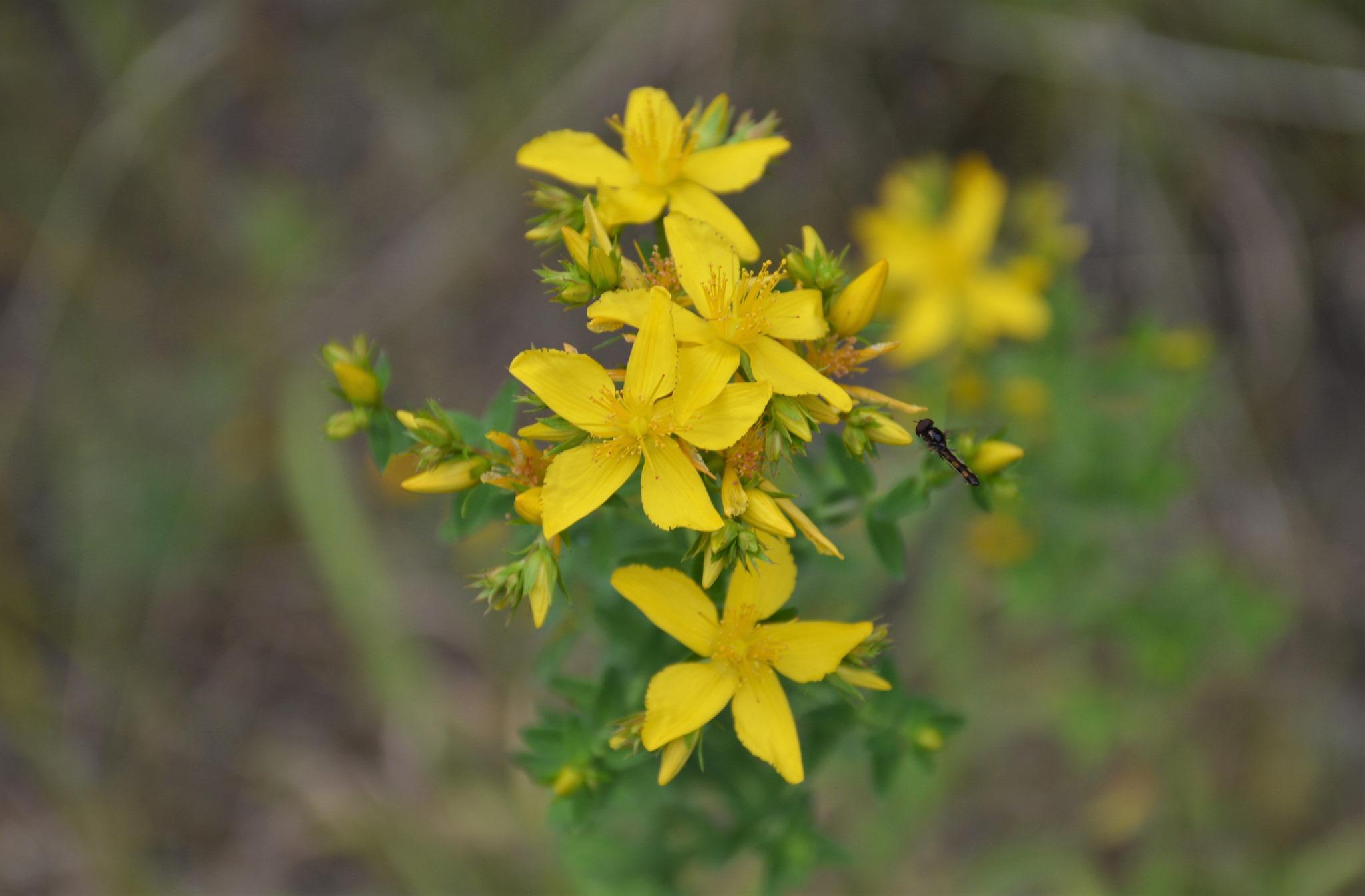 Hypericum perforatum, herba de San Xoán